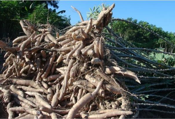 Nguyên liệu sản xuất từ khoai mì tự nhiên